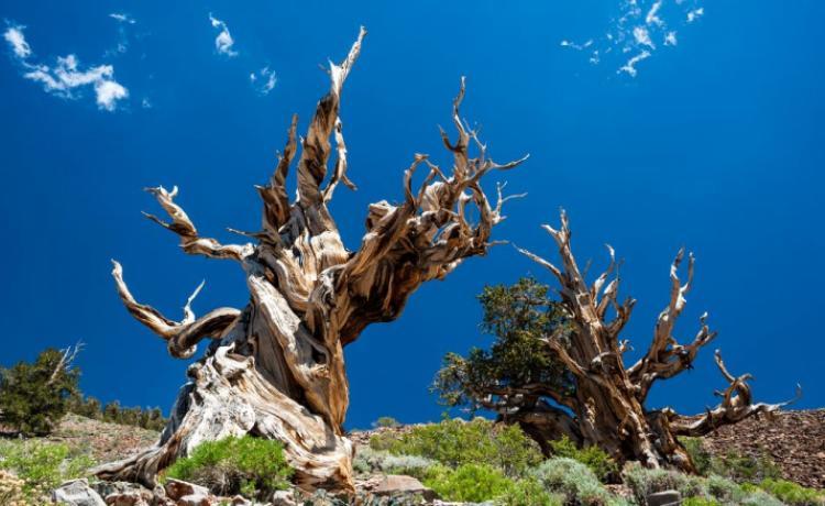 Какое дерево является самым старым на нашей планете?