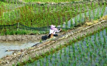 Генноотредактированные растения риса могут увеличить поставки продовольствия в мире